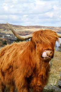 Biting Midges UK - Scotland Midge